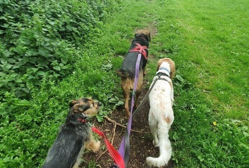 Dog Walker Service In Northallerton