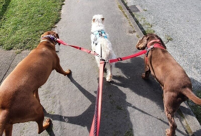Professional Dog Walker Northallerton